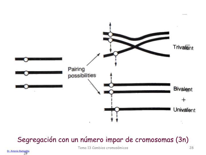 Segregación con un número impar de cromosomas (3n)