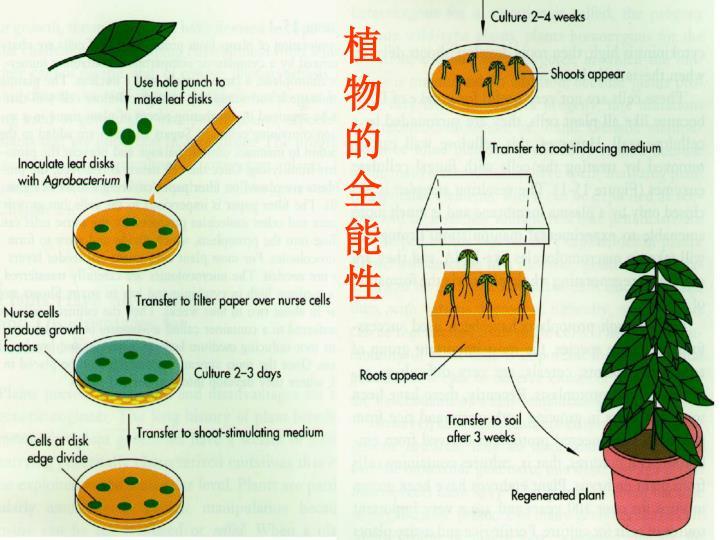 植物的全能性