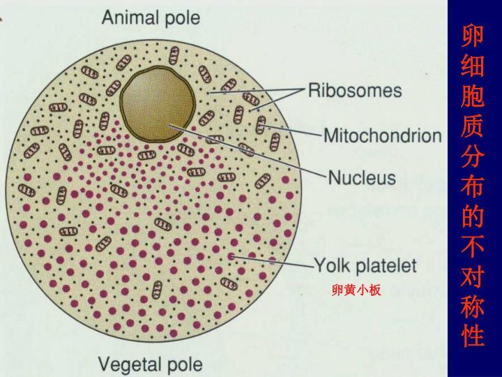 卵细胞质分布的不对称性