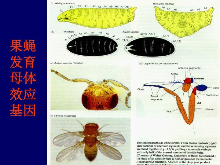 果蝇发育母体效应基因