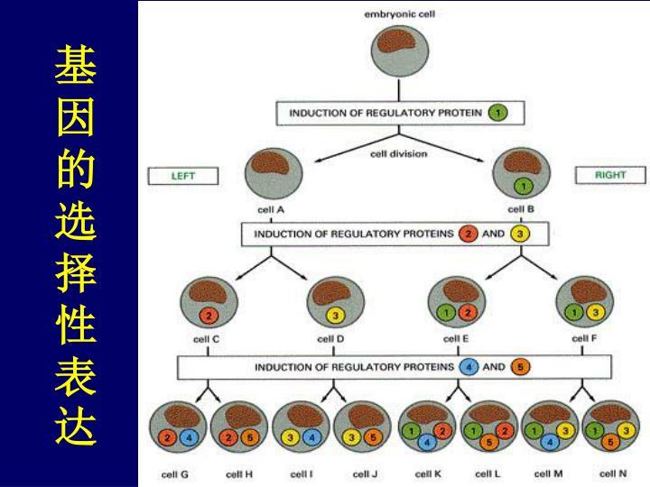 基因的选择性表达