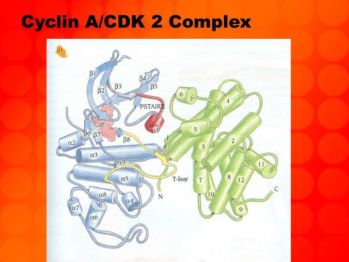 Cyclin A/CDK 2 Complex