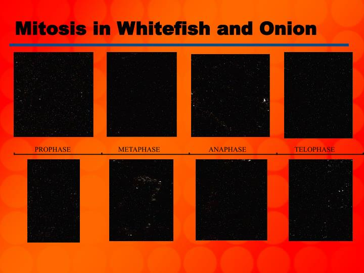 Mitosis in Whitefish and Onion