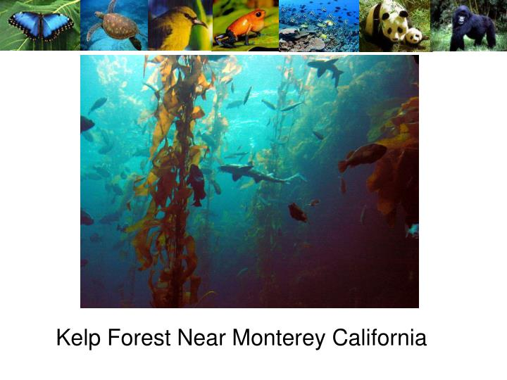 Kelp Forest Near Monterey California