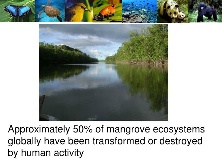 Approximately 50% of mangrove ecosystems globally have been transformed or destroyed by human activity