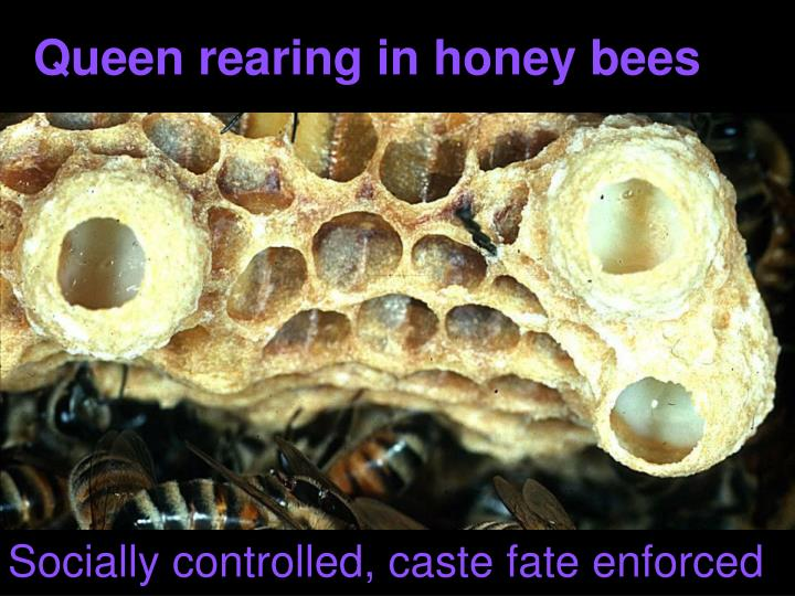 Queen rearing in honey bees