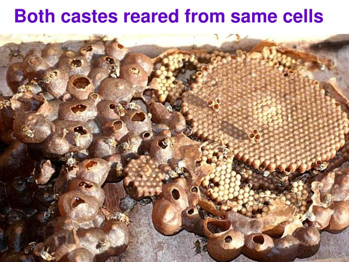 Both castes reared from same cells