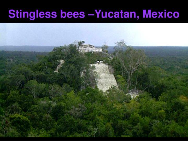Stingless bees –Yucatan, Mexico
