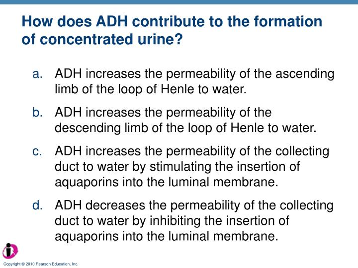 How does ADH contribute to the formation of concentrated urine?
