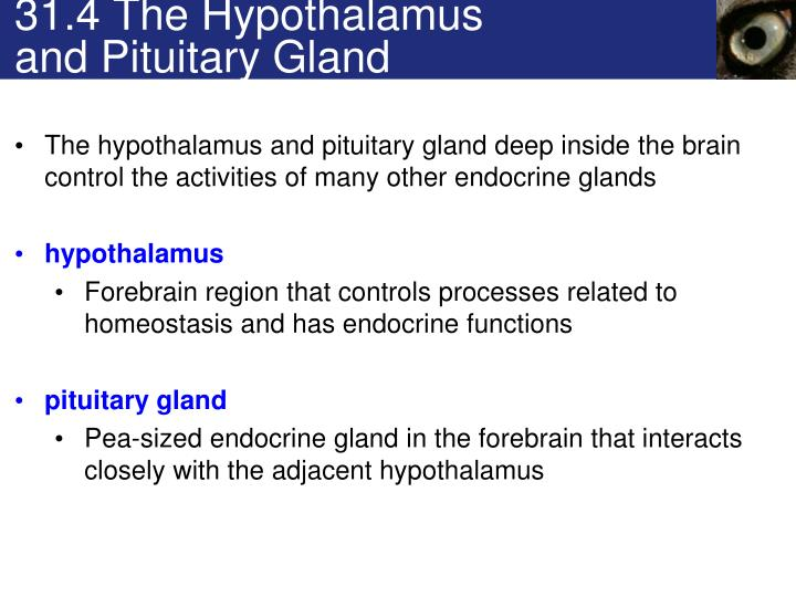 31.4 The Hypothalamus