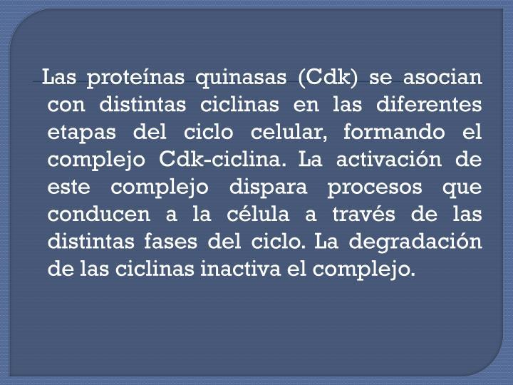 Las proteínas quinasas (