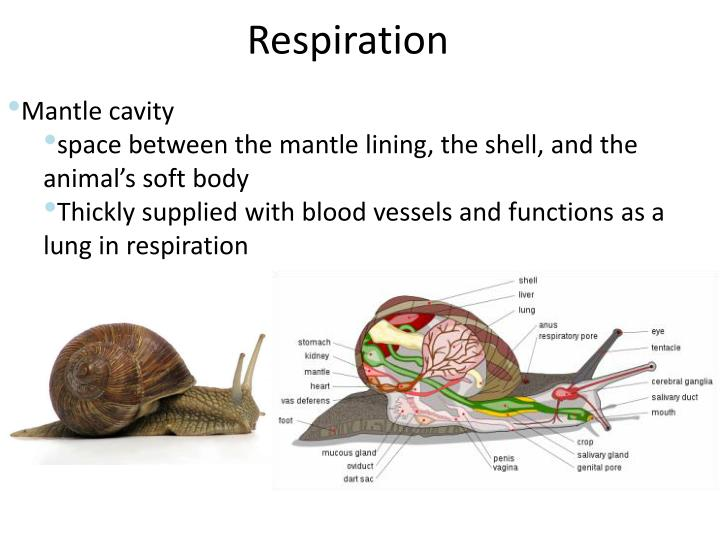 PPT - Phylum Mollusca PowerPoint Presentation - ID:6100279