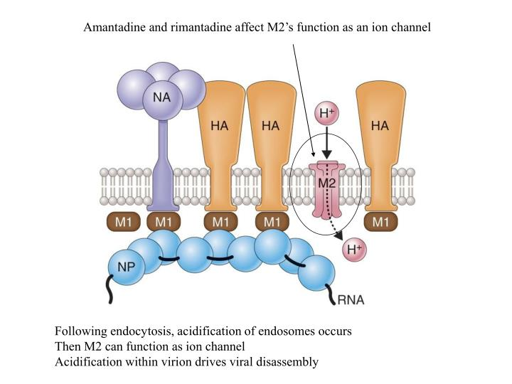 Amantadine and rimantadine affect M2's function as an ion channel