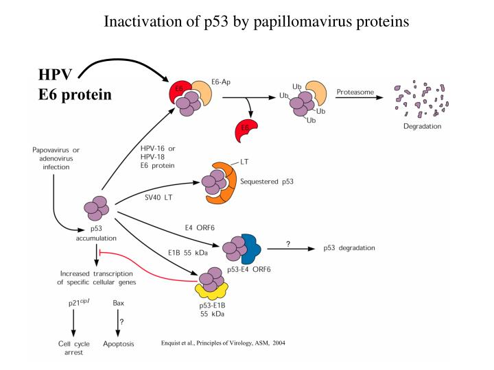 Inactivation of p53 by papillomavirus proteins