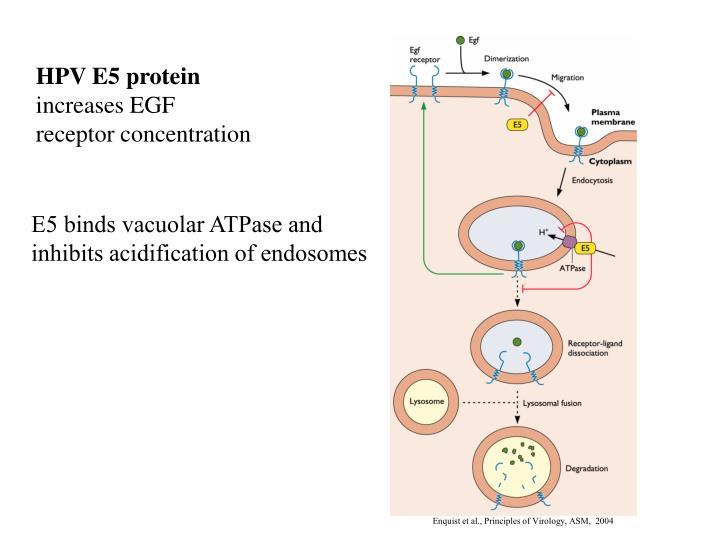 HPV E5 protein