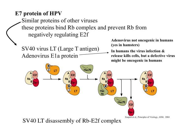 E7 protein of HPV