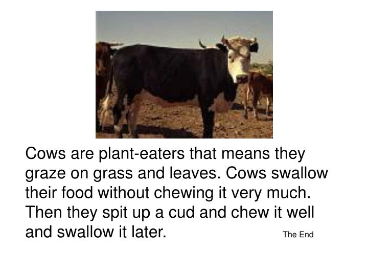 Cows are plant-eaters that means they graze on grass and leaves. Cows swallow their food without chewing it very much. Then they spit up a cud and chew it well and swallow it later.