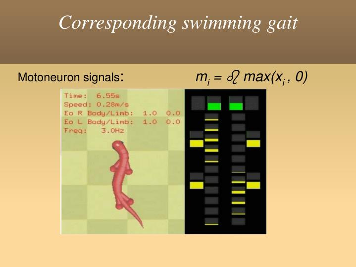 Corresponding swimming gait