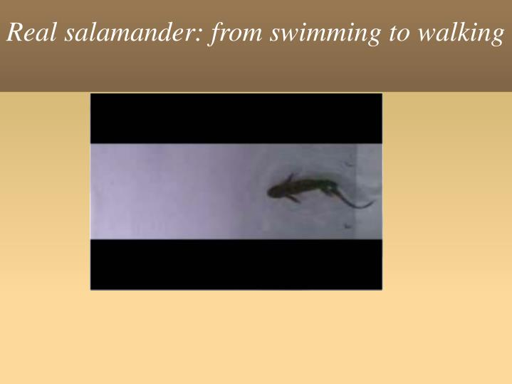 Real salamander: from swimming to walking