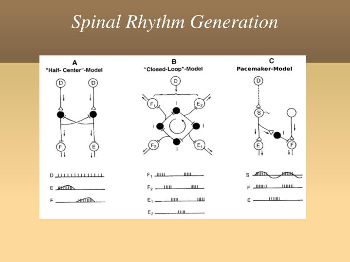 Spinal Rhythm Generation