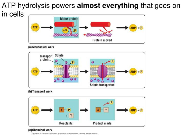 ATP hydrolysis powers