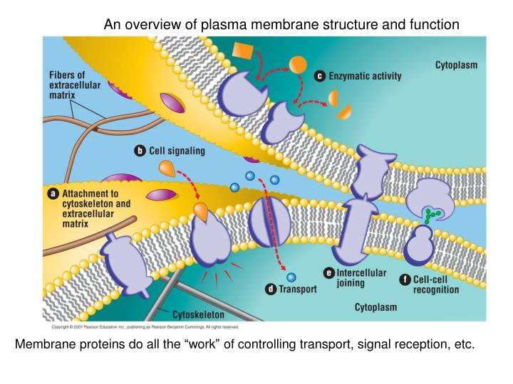 An overview of plasma membrane structure and function