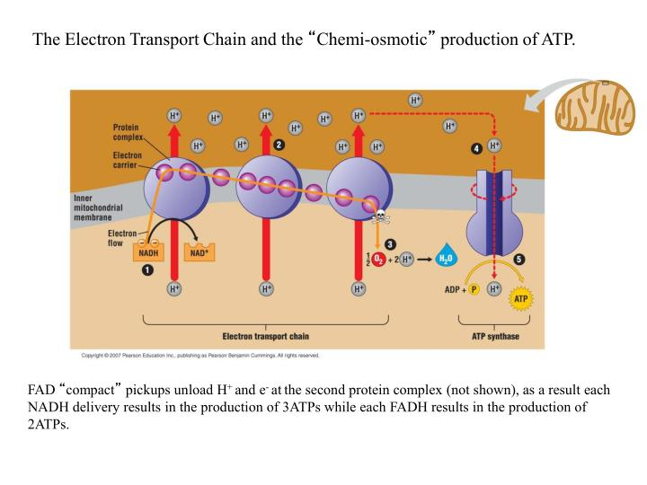 The Electron Transport Chain and the