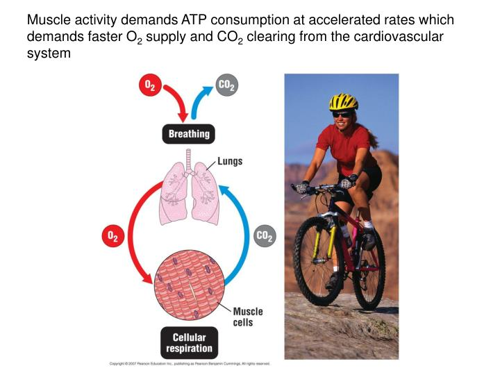 Muscle activity demands ATP consumption at accelerated rates which demands faster O