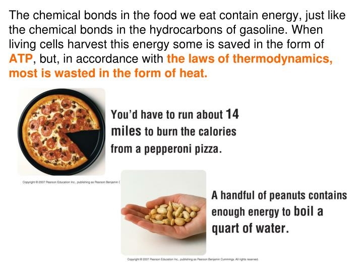 The chemical bonds in the food we eat contain energy, just like the chemical bonds in the hydrocarbons of gasoline. When living cells harvest this energy some is saved in the form of