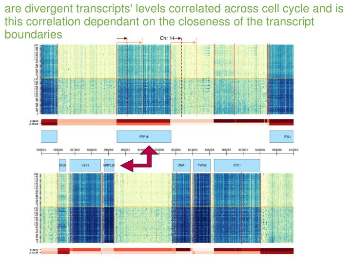 are divergent transcripts' levels correlated across cell cycle and is this correlation dependant on the closeness of the transcript boundaries