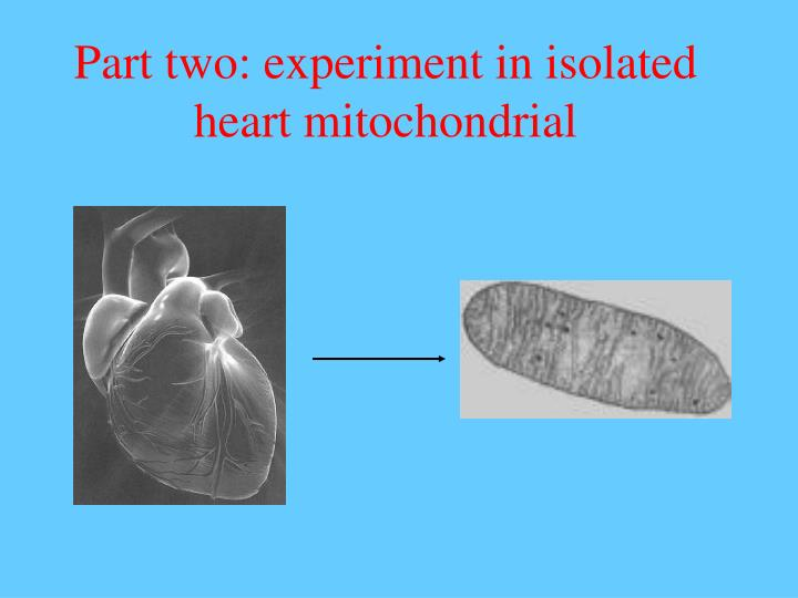 Part two: experiment in isolated heart mitochondrial