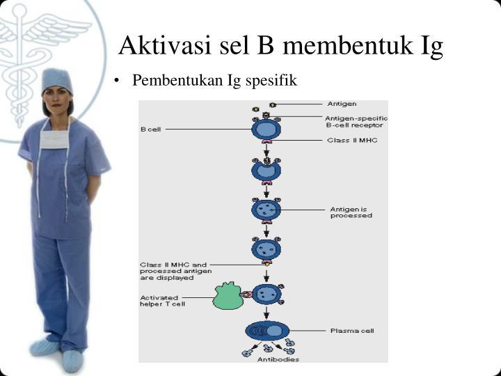 Aktivasi sel B membentuk Ig