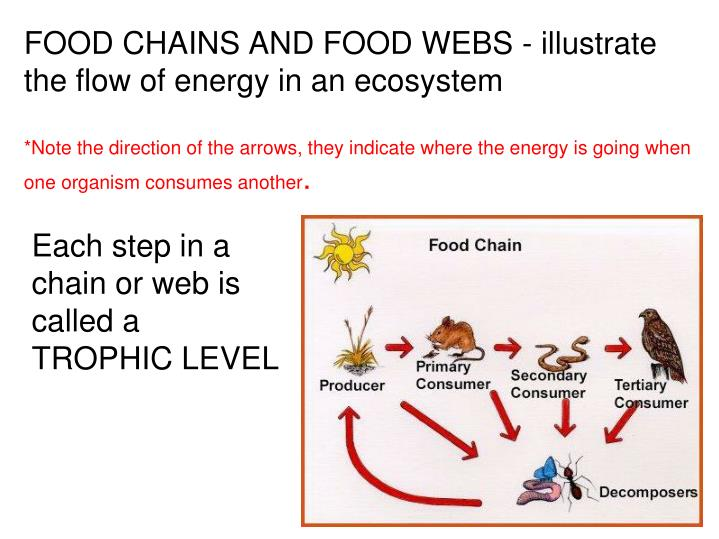 FOOD CHAINS AND FOOD WEBS - illustrate the flow of energy in an ecosystem