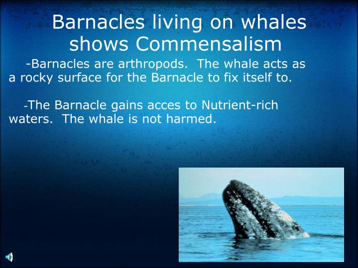 Barnacles living on whales shows Commensalism