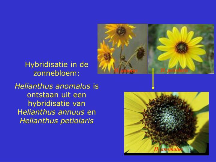Hybridisatie in de zonnebloem: