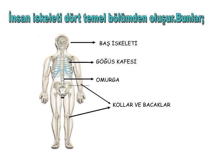 İnsan iskeleti dört temel bölümden oluşur.Bunlar;