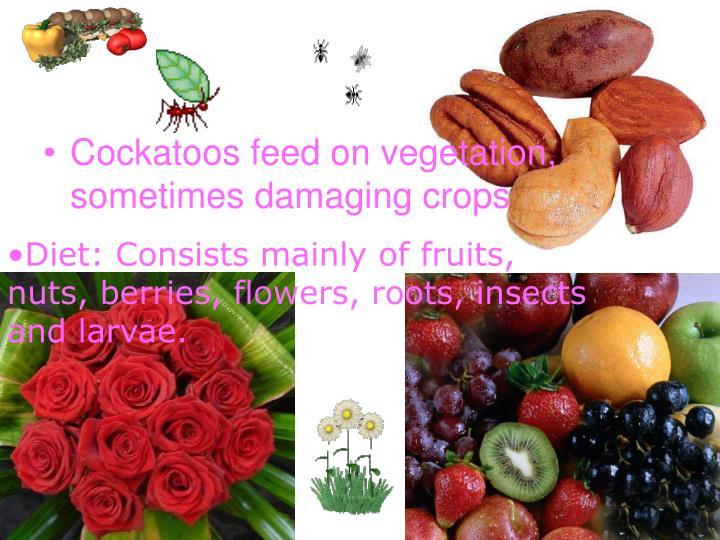 Cockatoos feed on vegetation, sometimes damaging crops