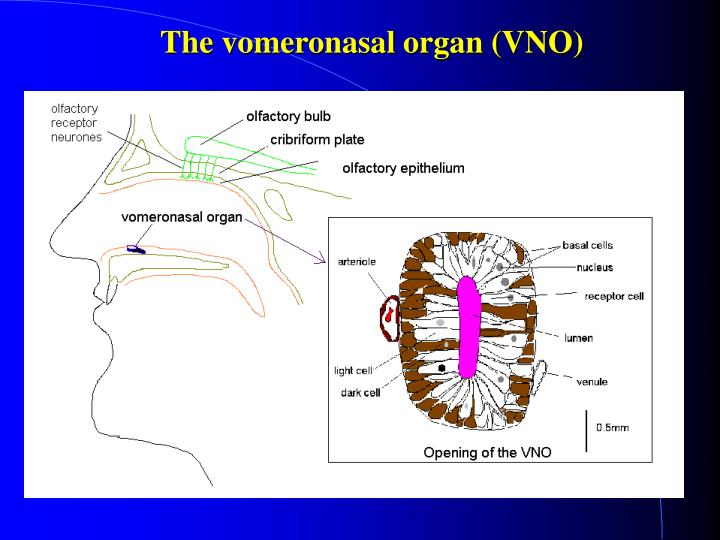 The vomeronasal organ (VNO)