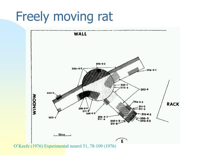 Freely moving rat
