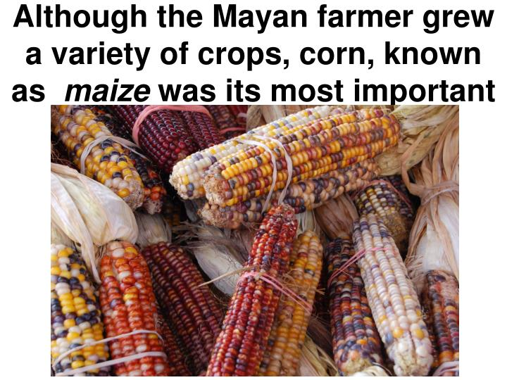 Although the Mayan farmer grew a variety of crops, corn, known as