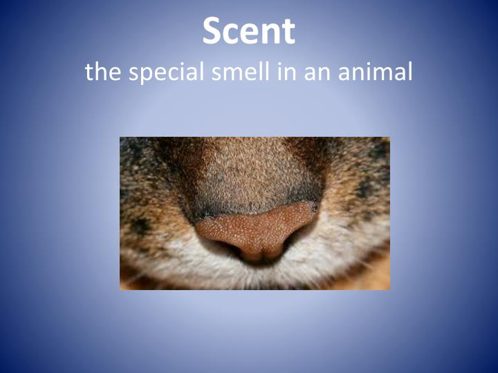 Scent the special smell in an animal