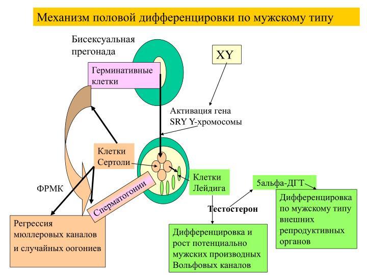 Механизм половой дифференцировки по мужскому типу