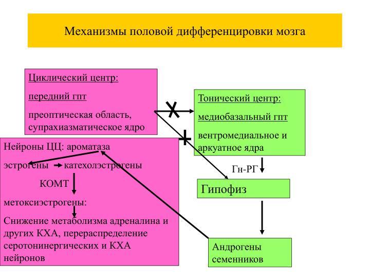 Механизмы половой дифференцировки мозга