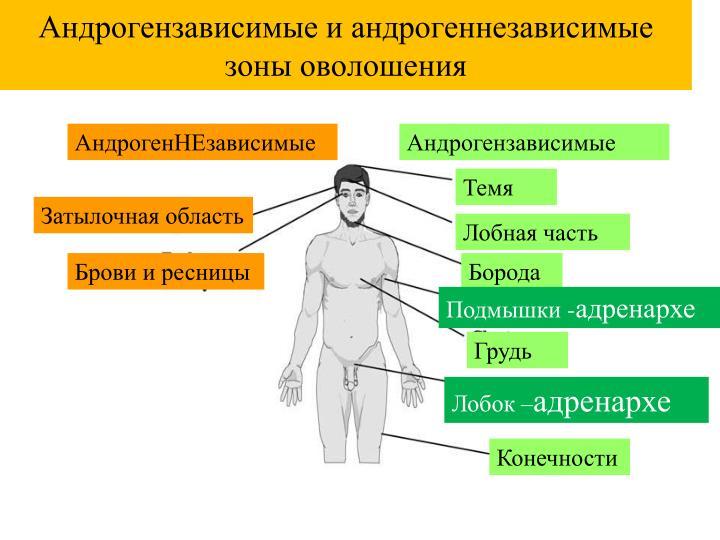Андрогензависимые и андрогеннезависимые зоны оволошения