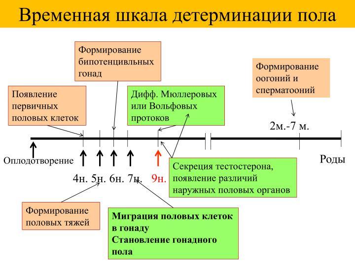 Временная шкала детерминации пола