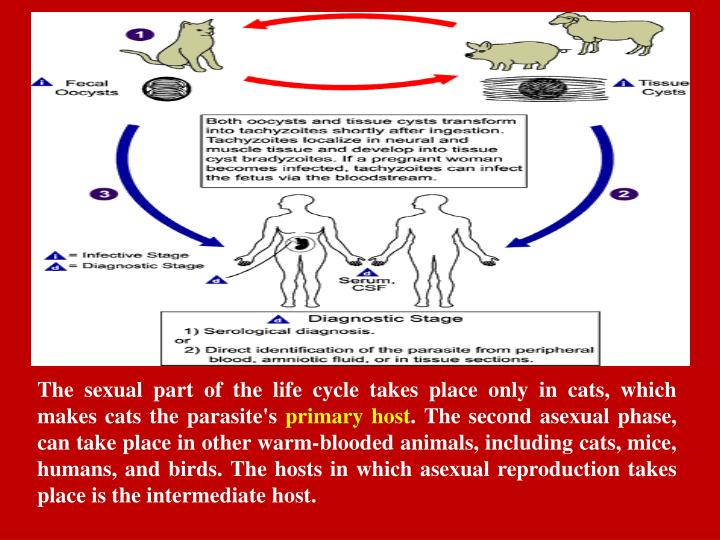 The sexual part of the life cycle takes place only in cats, which makes cats the parasite's