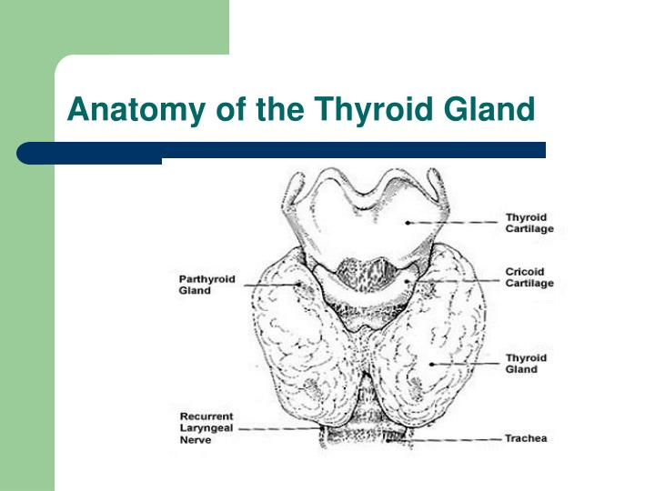 Anatomy of the thyroid gland