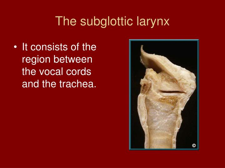 The subglottic larynx