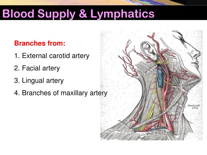 Blood Supply & Lymphatics