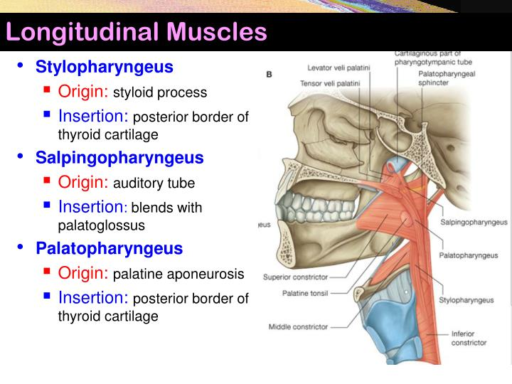 Longitudinal Muscles